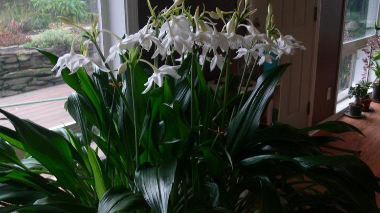 Почему не цветет эухарис уход в домашних условиях