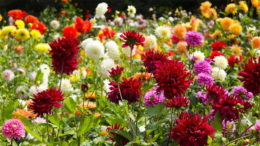 Почему не цветут георгины и что делать чтобы зацвели