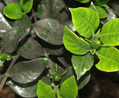 Почему у гардении чернеют листья фото