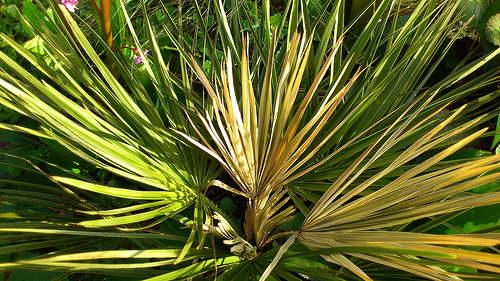 Почему у хамеропса желтеют листья фото