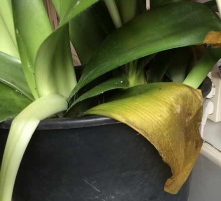 Почему желтеют листья у гемантуса фото