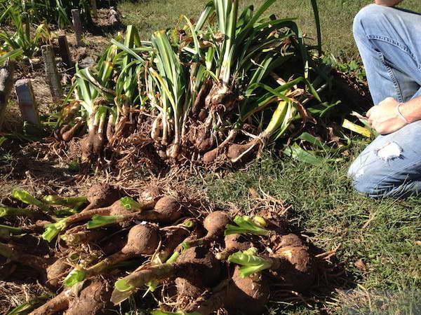 Подготовка луковиц кринума к хранению фото
