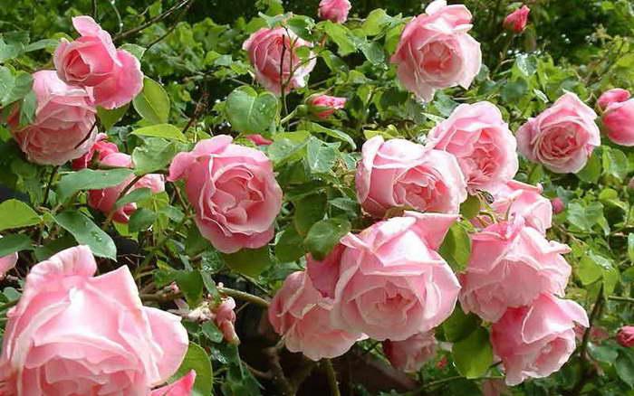 Полиантовая роза Де капо polyantha rose Da Capo фото