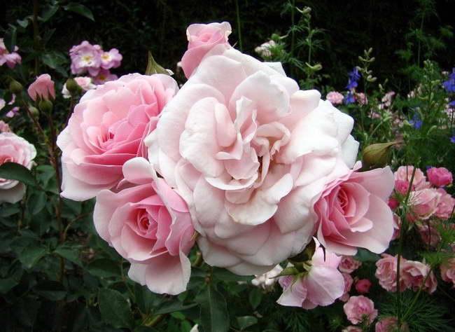 Полиантовая роза Диадем Diadem Rose фото