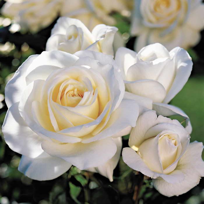 Полиантовая роза Диадем уайт Polyantha Rose Diadem White фото