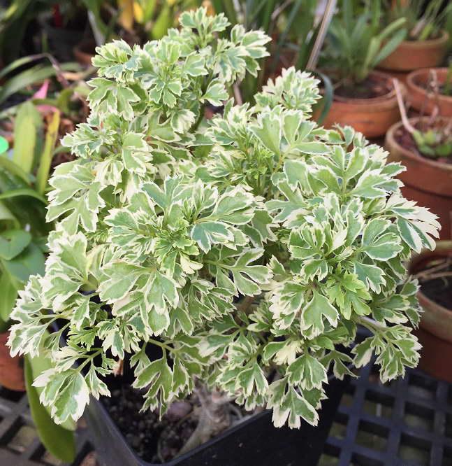 Полисциас кустарниковый Polyscias fruticosa 'Variegata' фото
