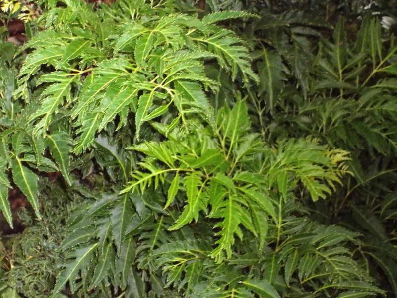 Полисциас папоротниколистный Polyscias filicifolia фото