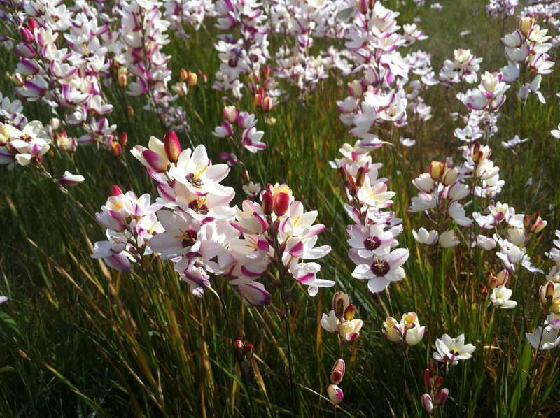 Поляна цветущих иксий фото