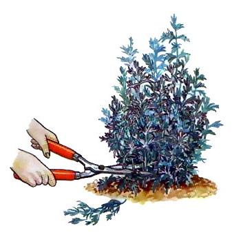 Полынь божье дерево обрезка