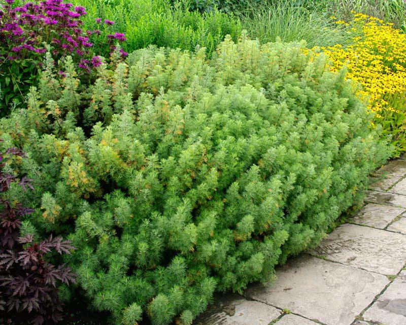 Полынь декоративная божье дерево Artemisia abrotanum в ландшафтном дизайне фото