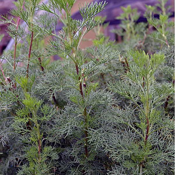 Полынь лечебная Божье дерево Artemisia abrotanum фото