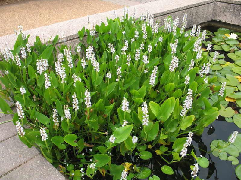Понтедерия белая Pontederia cordata Alba White Pike