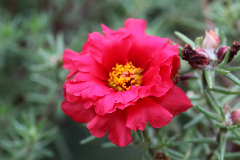 Портулак Черри Ред Portulaca Sunnyside Cherry Red фото