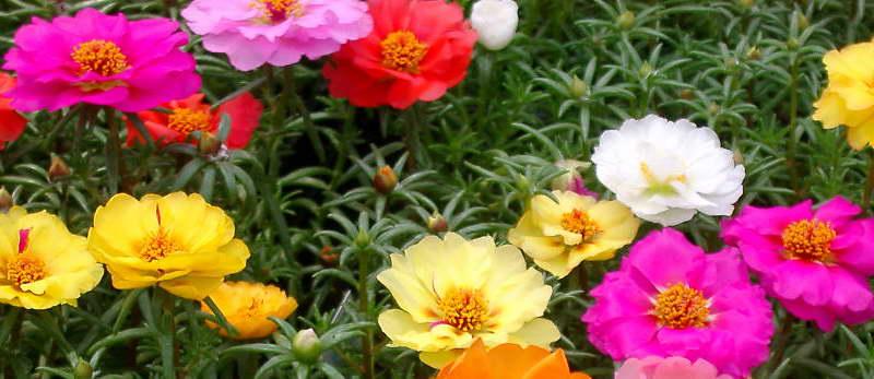 Портулак крупноцветковый Дабл микс Portulaca grandiflora Double Mixed фото