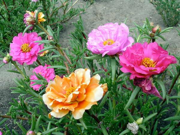 Портулак крупноцветковый Portulaca grandiflora фото