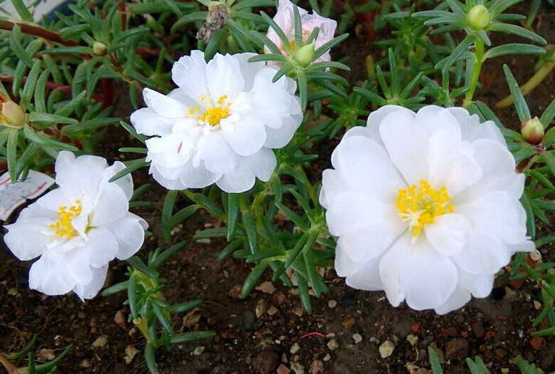 Портулак крупноцветковый белый сорт White sun фото