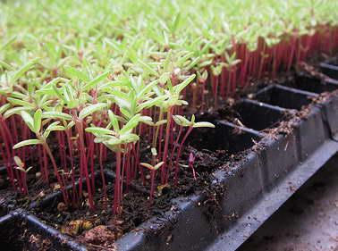 Портулак выращивание из семян на рассаду фото всходов
