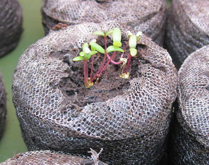 Портулак выращивание из семян на рассаду фото