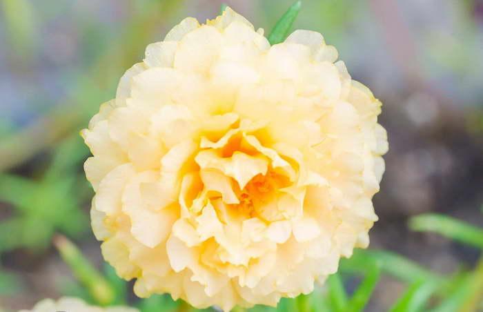 Портулак желтый Hybrid Cream фото
