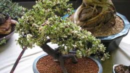 Портулакария афра вариегата бонсай Portulacaria afra f. variegata bonsai фото