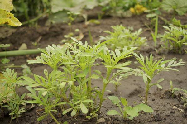Посадка бархатцев Бархатцы выращивание из семян когда сажать
