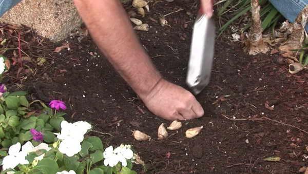 Посадка фрезии весной в грунт Выращивание фрезии из луковиц Как сажать фрезию весной