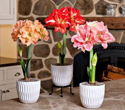 Посадка и цветение амариллиса Амариллис размножение и уход в домашних условиях