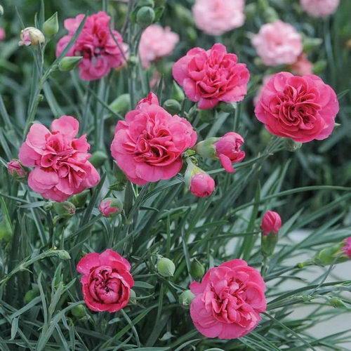 Посадка и уход гвоздики Шабо Гвоздика шабо фото цветов на клумбе в саду