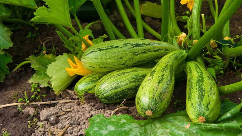 Когда сажать семена кабачков в открытом грунте 122