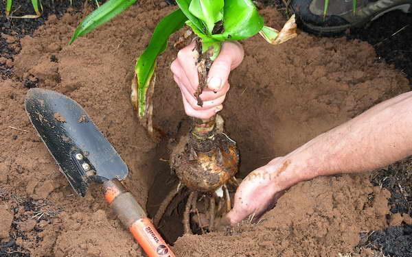 Как посадить кринум в открытый грунт фото