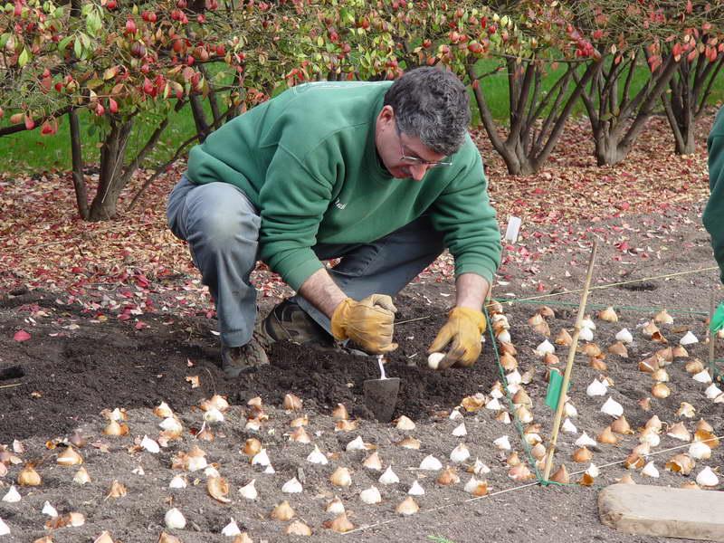 Посадка луковиц тюльпанов осенью фото