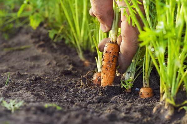 Посадка моркови в грунт семенами и дальнейший уход