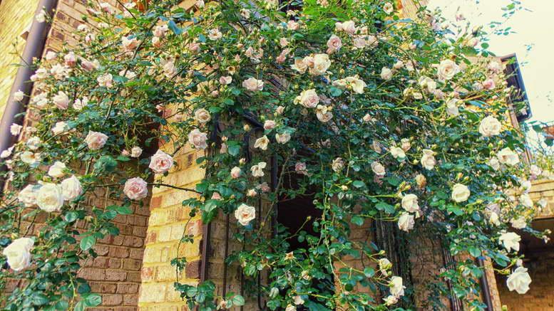 Посадка плетистых роз в открытом грунте Как ухаживать за плетистыми розами