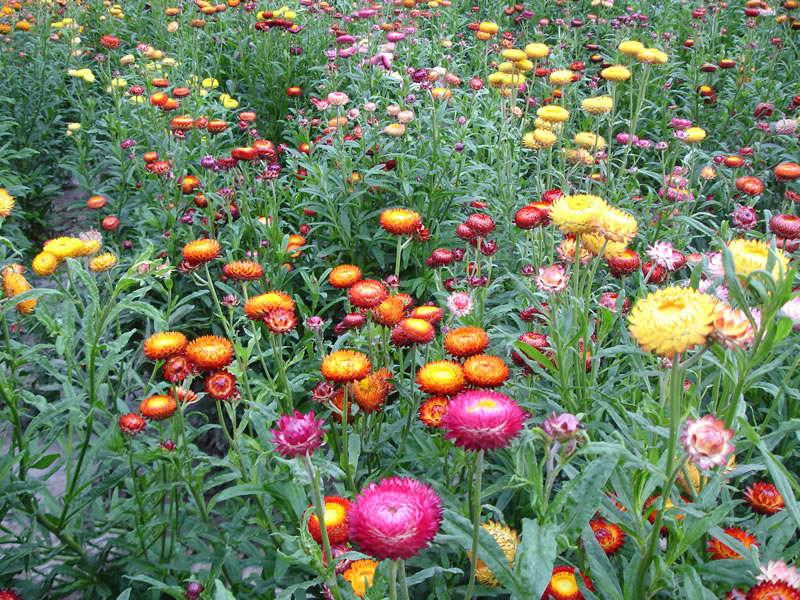 Посадка садового бессмертника гелихризума прицветникового фото цветов