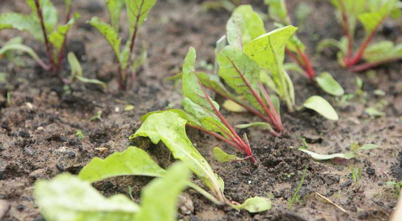 Посадка свеклы рассадой в грунт фото