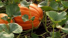 Посадка тыквы семенами в открытый грунт Выращивание и уход
