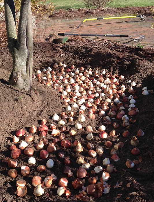 Посадка тюльпанов осенью когда и как посадить фото
