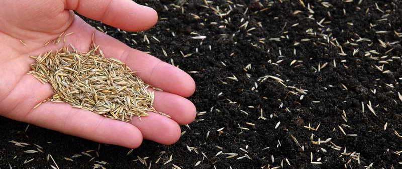 Посев газонной травы райграс многолетний пастбищный фото