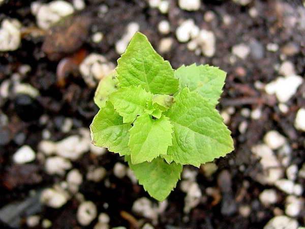 Посев платикодона семенами Платикодон в открытом грунте фото