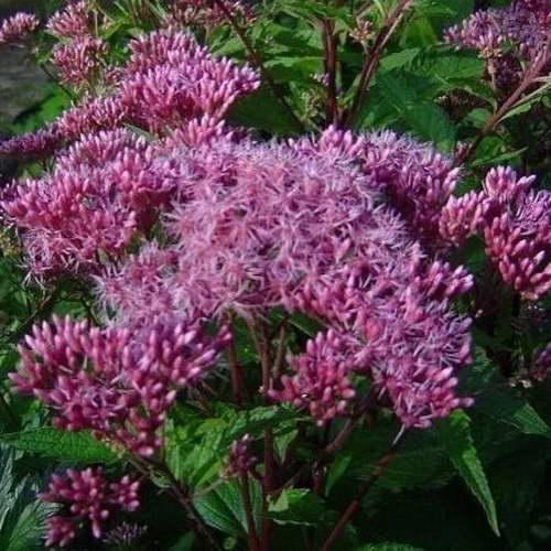 Посконник пятнистый Eupatorium maculatum 'Purple Bush' фото цветов