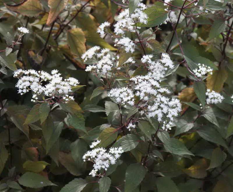 Посконник рубрум Eupatorium rugosum 'Rubrum' фото
