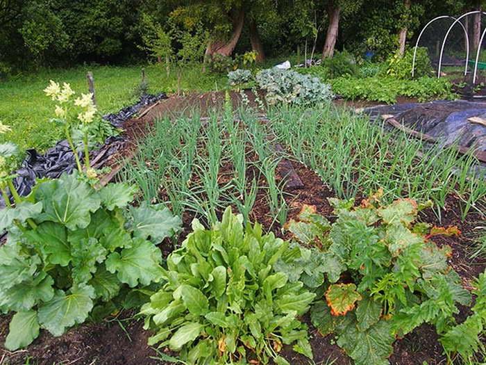 После каких культур можно сажать лук в огороде