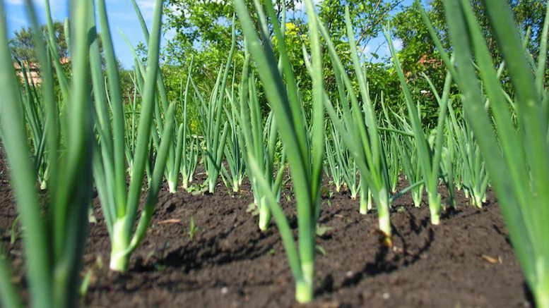 После какой культуры сажать лук весной