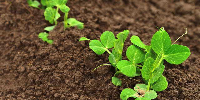 Правильная посадка гороха когда сажать семенами в открытый грунт