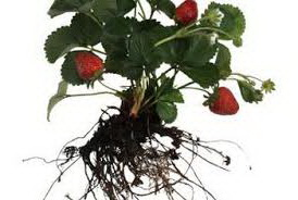При посадке корни клубники должны быть хорошо расправлены