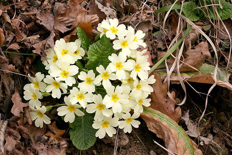 Примула бесстебельная Primula acaulis Hill фото