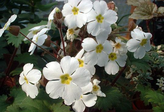 Примула китайская Primula sinensis