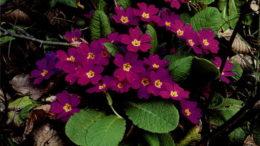 Примула многолетняя посадка и уход фото цветов