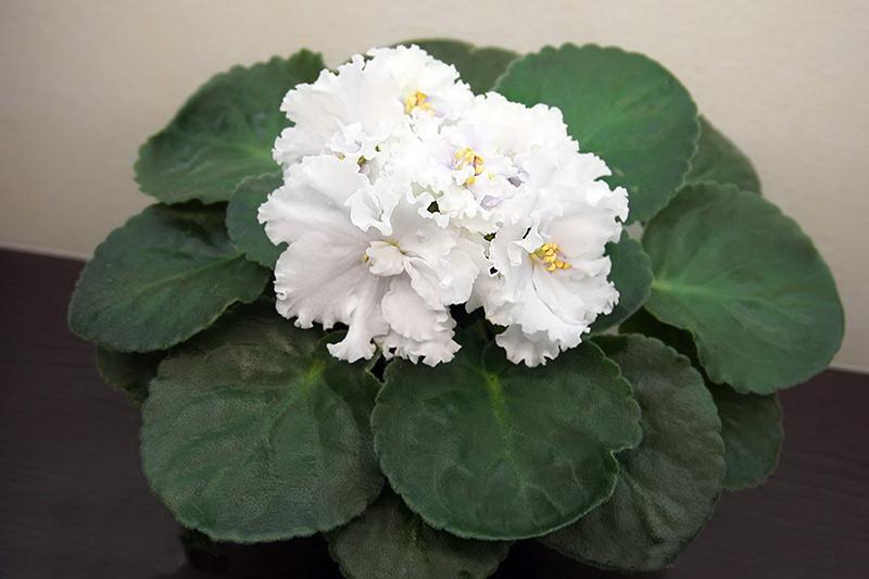 Примула мягколистная или мягкая Primula malacoides сорт Снежная королева
