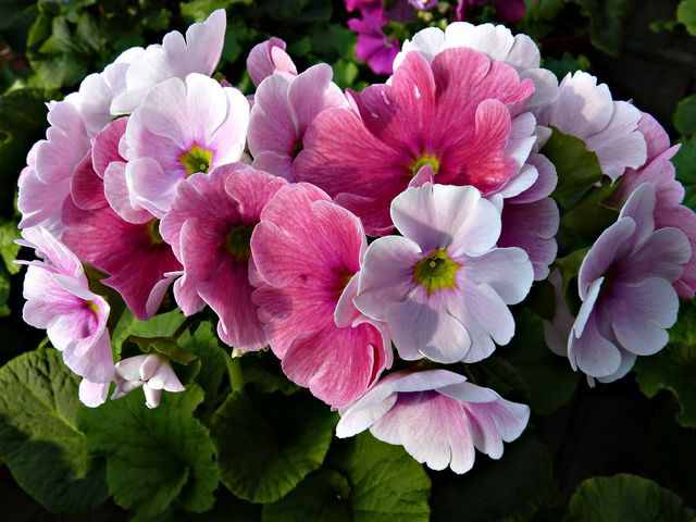 Примула обконика или обратноконическая Primula obconica